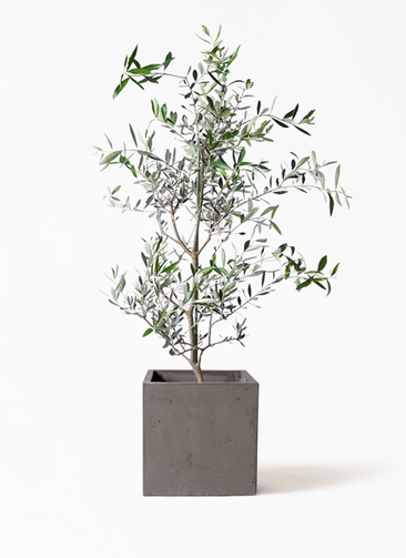 観葉植物 オリーブの木 8号 コレッジョラ コンカー キューブ  灰 付き