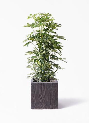 観葉植物 カポック(シェフレラ) 8号 斑入り ベータ キューブプランター ウッド 茶 付き