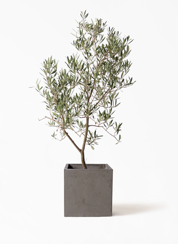 観葉植物 オリーブの木 8号 デルモロッコ コンカー キューブ  灰 付き