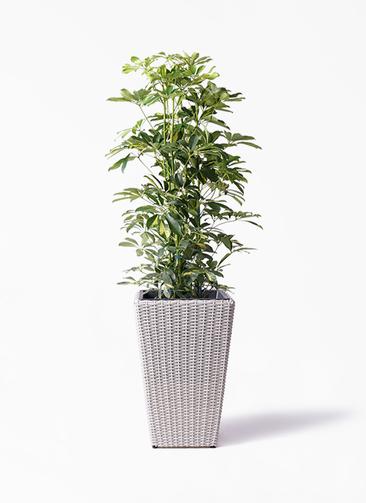 観葉植物 カポック(シェフレラ) 8号 斑入り ウィッカーポット スクエアロング OT 白 付き