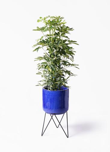 観葉植物 カポック(シェフレラ) 8号 斑入り ビトロ エンデカ 鉢カバースタンド付 ブルー 付き
