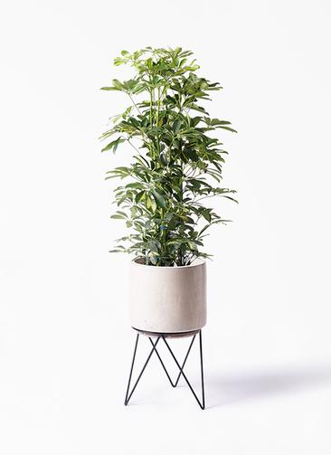 観葉植物 カポック(シェフレラ) 8号 斑入り ビトロ エンデカ 鉢カバースタンド付 クリーム 付き