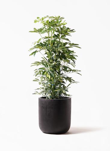 観葉植物 カポック(シェフレラ) 8号 斑入り エルバ 黒 付き