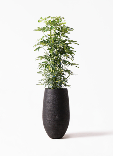 観葉植物 カポック(シェフレラ) 8号 斑入り フォンティーヌトール 黒 付き