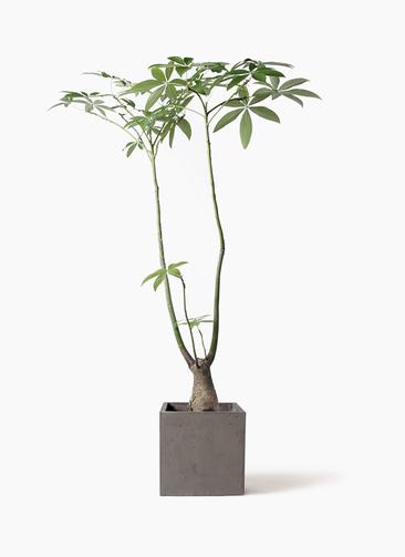 観葉植物 パキラ 8号 パラソル コンカー キューブ  灰 付き