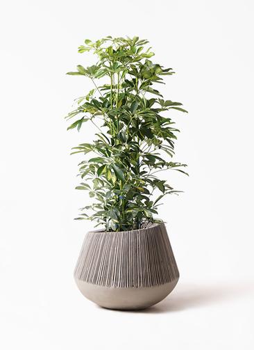 観葉植物 カポック(シェフレラ) 8号 斑入り エディラウンド グレイ 付き