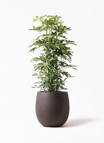 観葉植物 カポック(シェフレラ) 8号 斑入り テラニアス バルーン アンティークブラウン 付き