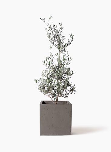 観葉植物 オリーブの木 8号 ピクアル コンカー キューブ  灰 付き