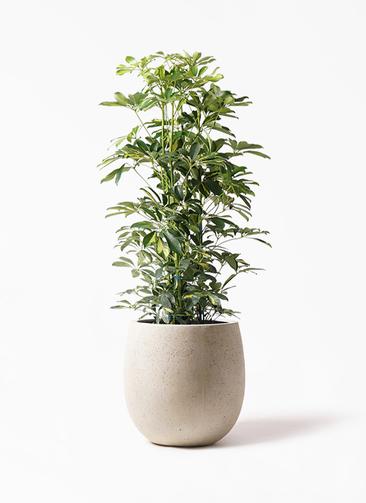 観葉植物 カポック(シェフレラ) 8号 斑入り テラニアス バルーン アンティークホワイト 付き