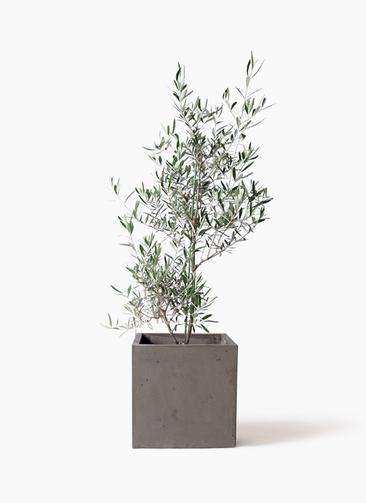 観葉植物 オリーブの木 8号 コラティーナ (コラチナ) コンカー キューブ  灰 付き