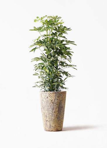 観葉植物 カポック(シェフレラ) 8号 斑入り アトランティス クルーシブル 付き