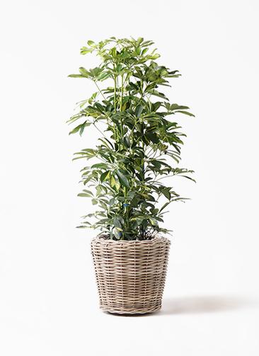 観葉植物 カポック(シェフレラ) 8号 斑入り モンデリック ラタン 付き