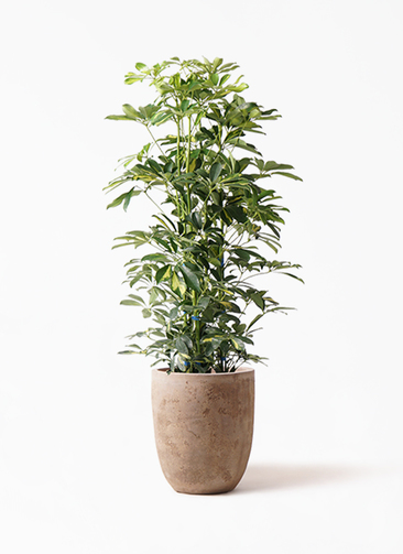 観葉植物 カポック(シェフレラ) 8号 斑入り ルーガ アンティコ アルトエッグ 付き