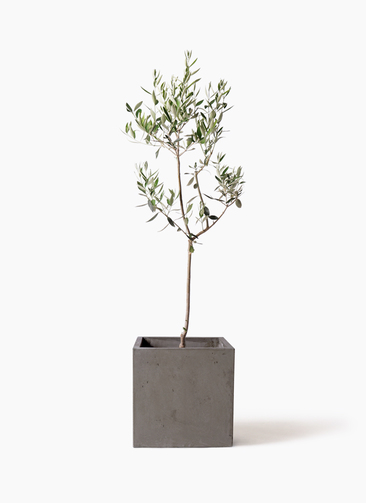 観葉植物 オリーブの木 8号 カラマタ コンカー キューブ  灰 付き