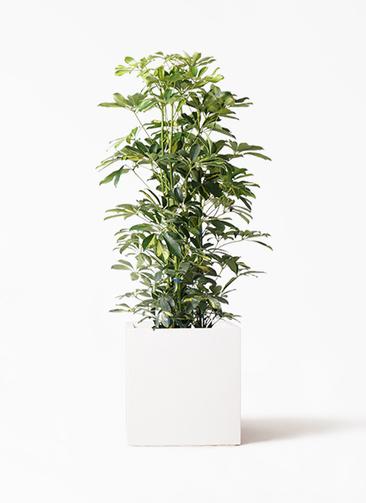 観葉植物 カポック(シェフレラ) 8号 斑入り バスク キューブ 付き