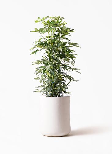 観葉植物 カポック(シェフレラ) 8号 斑入り バスク ミドル ホワイト 付き