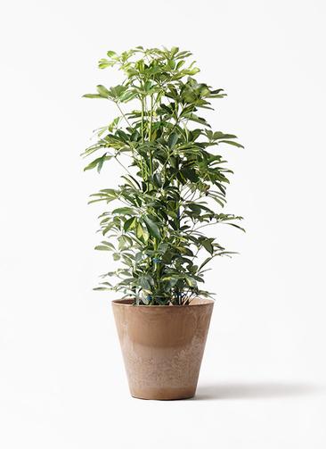 観葉植物 カポック(シェフレラ) 8号 斑入り アートストーン ラウンド ベージュ 付き
