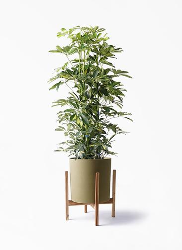 観葉植物 カポック(シェフレラ) 8号 斑入り ホルスト シリンダー オリーブ ウッドポットスタンド付き