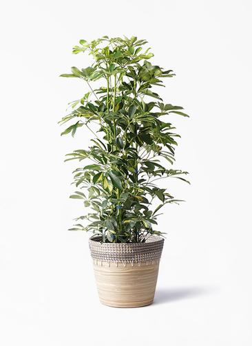 観葉植物 カポック(シェフレラ) 8号 斑入り アルマ コニック 白 付き