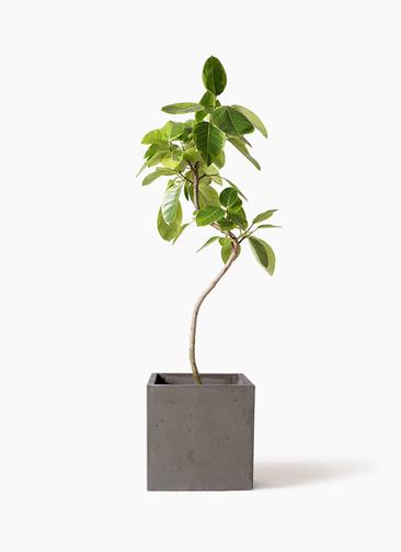 観葉植物 フィカス アルテシーマ 8号 曲り コンカー キューブ 灰 付き