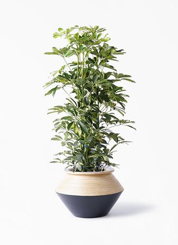 観葉植物 カポック(シェフレラ) 8号 斑入り アルマジャー 黒 付き