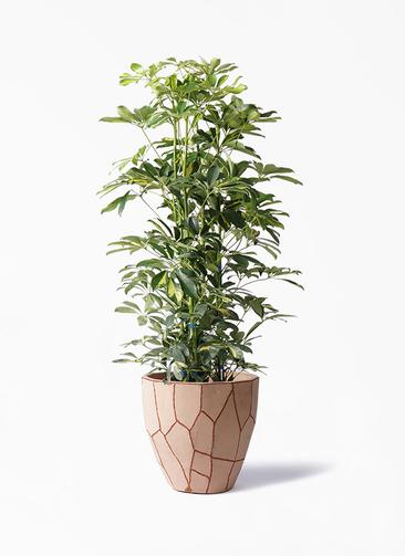 観葉植物 カポック(シェフレラ) 8号 斑入り ウィスク 付き