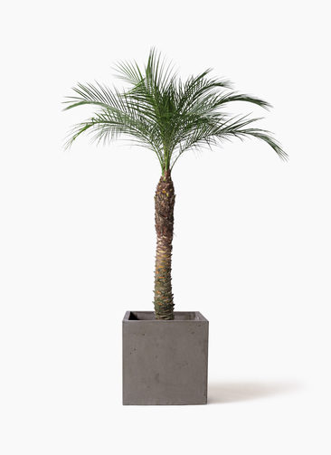 観葉植物 フェニックスロベレニー 8号 コンカー キューブ 灰 付き