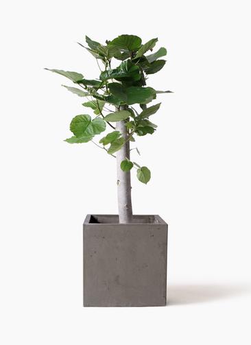 観葉植物 フィカス ウンベラータ 8号 朴 コンカー キューブ 灰 付き