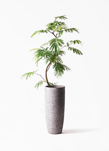 観葉植物 エバーフレッシュ 8号 曲り エコストーントールタイプ Gray 付き