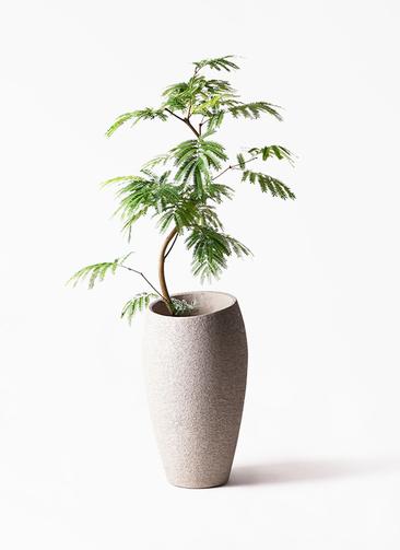 観葉植物 エバーフレッシュ 8号 曲り エコストーントールタイプ Light Gray 付き
