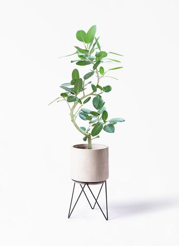 観葉植物 フィカス ベンガレンシス 8号 曲り ビトロ エンデカ 鉢カバースタンド付 クリーム 付き