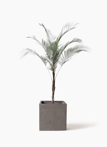 観葉植物 ヒメココス 8号 コンカー キューブ 灰 付き