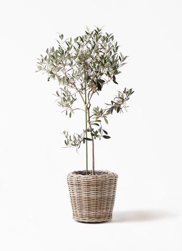 観葉植物 オリーブの木 8号 ワンセブンセブン モンデリック ラタン 付き