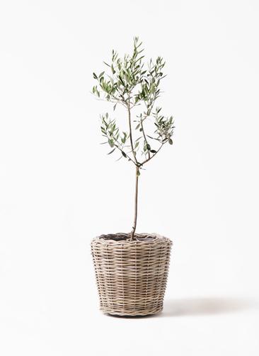 観葉植物 オリーブの木 8号 カラマタ モンデリック ラタン 付き