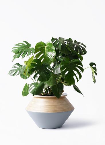 観葉植物 モンステラ 8号 ボサ造り アルマジャー グレー 付き
