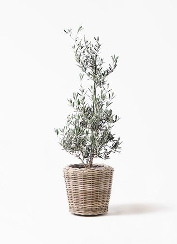 観葉植物 オリーブの木 8号 ピクアル モンデリック ラタン 付き