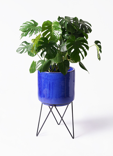 観葉植物 モンステラ 8号 ボサ造り ビトロ エンデカ 鉢カバースタンド付 ブルー 付き