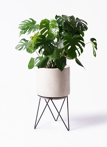 観葉植物 モンステラ 8号 ボサ造り ビトロ エンデカ 鉢カバースタンド付 クリーム 付き