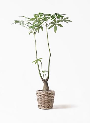 観葉植物 パキラ 8号 パラソル モンデリック ラタン 付き