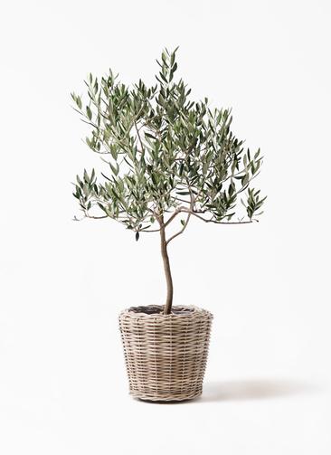 観葉植物 オリーブの木 8号 ハーディーズマンモス モンデリック ラタン 付き
