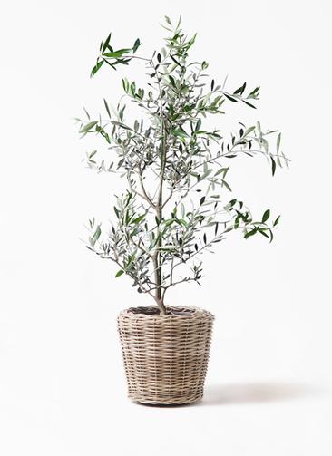観葉植物 オリーブの木 8号 コレッジョラ モンデリック ラタン 付き