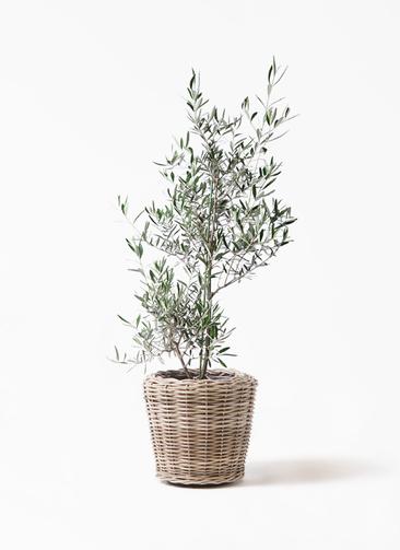 観葉植物 オリーブの木 8号 コラティーナ (コラチナ) モンデリック ラタン 付き