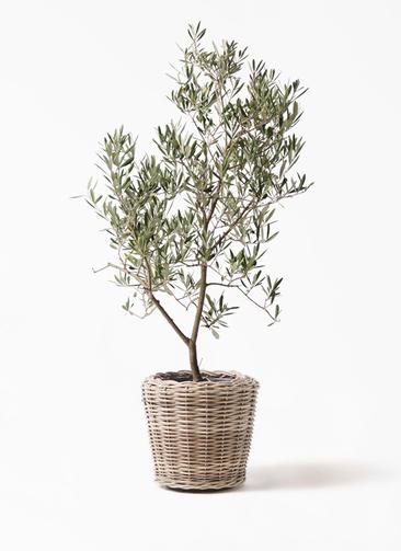 観葉植物 オリーブの木 8号 デルモロッコ モンデリック ラタン 付き
