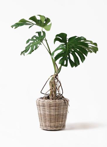 観葉植物 モンステラ 8号 根上り モンデリック ラタン 付き
