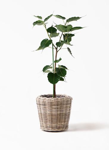 観葉植物 インドボダイジュ 8号 モンデリック ラタン 付き
