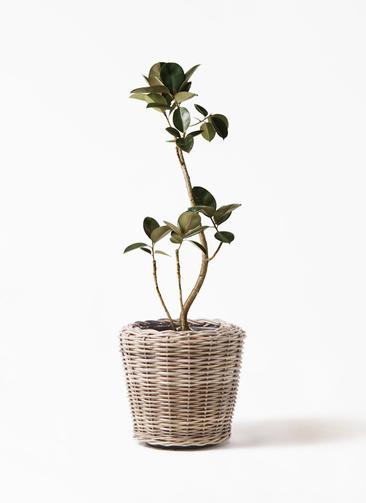 観葉植物 フィカス バーガンディ 8号 曲り モンデリック ラタン 付き