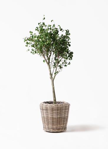 観葉植物 フィカス ベンジャミン 8号 シタシオン モンデリック ラタン 付き