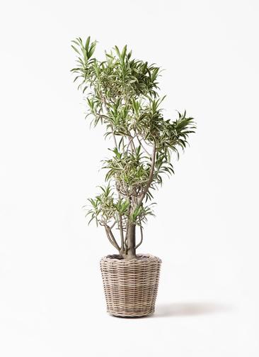 観葉植物 ドラセナ ソング オブ インディア 8号 モンデリック ラタン 付き