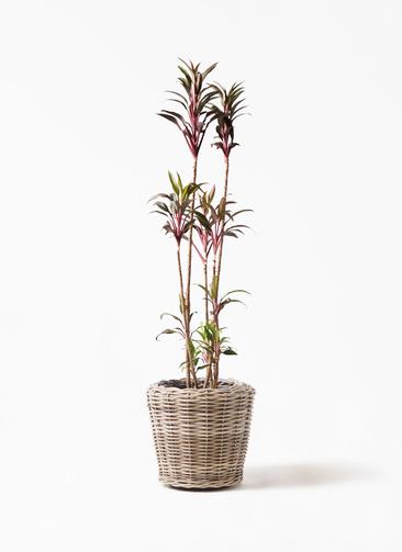 観葉植物 コルディリネ (コルジリネ) ターミナリス 8号 モンデリック ラタン 付き
