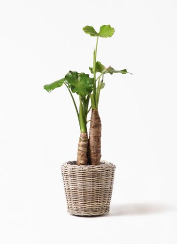観葉植物 クワズイモ 8号 モンデリック ラタン 付き